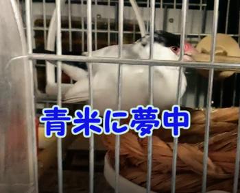 #167青米に夢中2.png